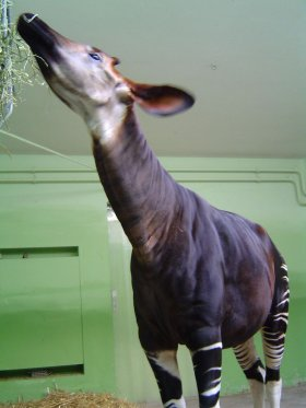 Okapi in Frankfurter Zoo