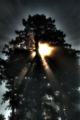 Sun setting behind Humboldt redwood