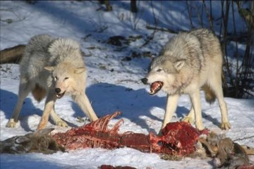Wolves guarding a kill