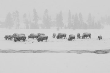 Bison herd in the snow, Yellowstone