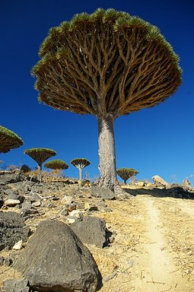 Dragon's Blood Tree, Socotra
