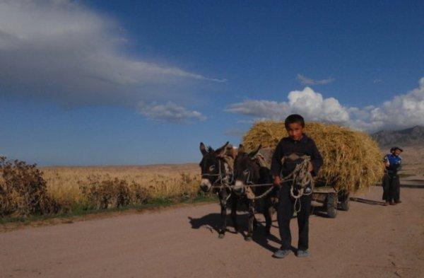 Kyrgyz boy leading mules