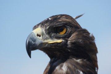 Hunting eagle Kyrgyzstan