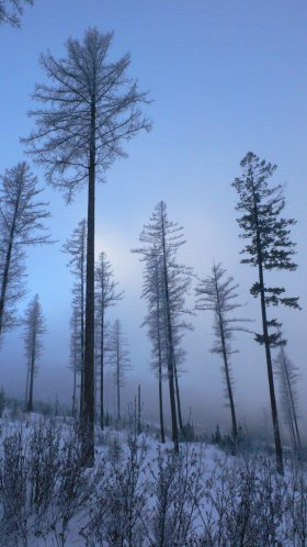 Foggy winter forest, Montana