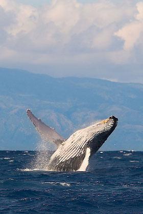 Whale breaching, Maui