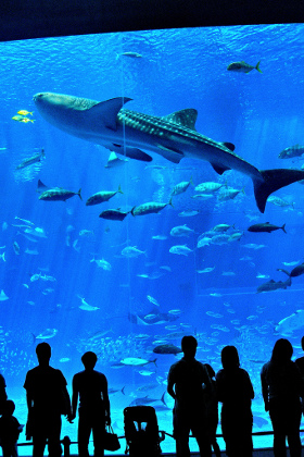 Whale shark, Churaumi Aquarium