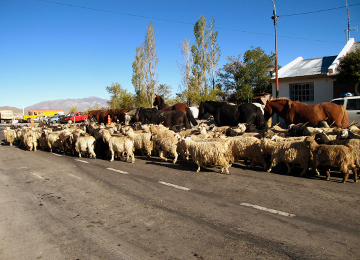Goat crossing in Chos Malal