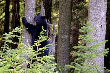 Black bear at Whistler, Canada