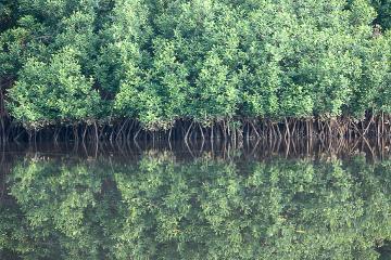 Akwidaa mangrove