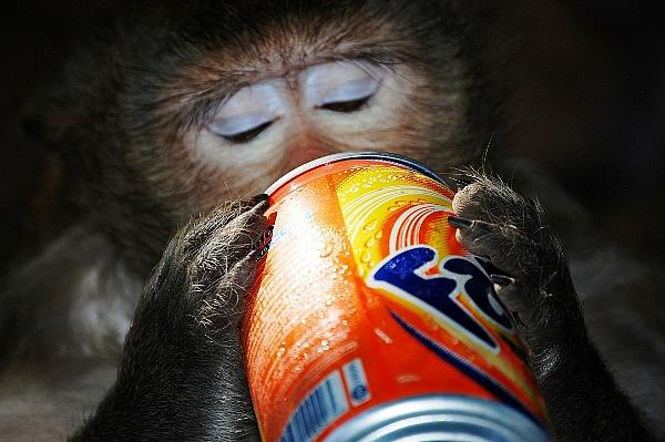 Monkey drinking Fanta, Phnom Penh, Cambodia
